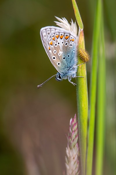 Common Blue with catterpillar nearby