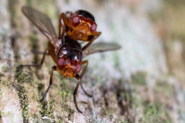 Small mating flies