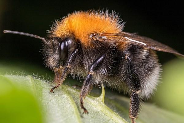 Bee on Bramble Leaf