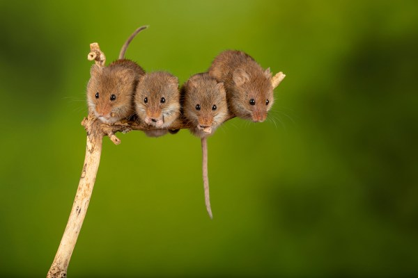 Four Harvest Mice