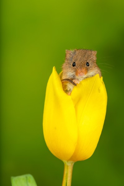 Harvest Mouse in Yellow Tulip Flower