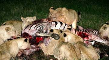 What do lions eat?