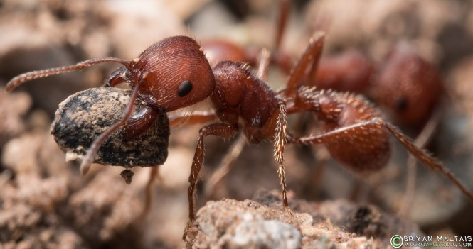 Ant Species With Extreme Contrasts In Colony Size And Worker Sizes To Scale