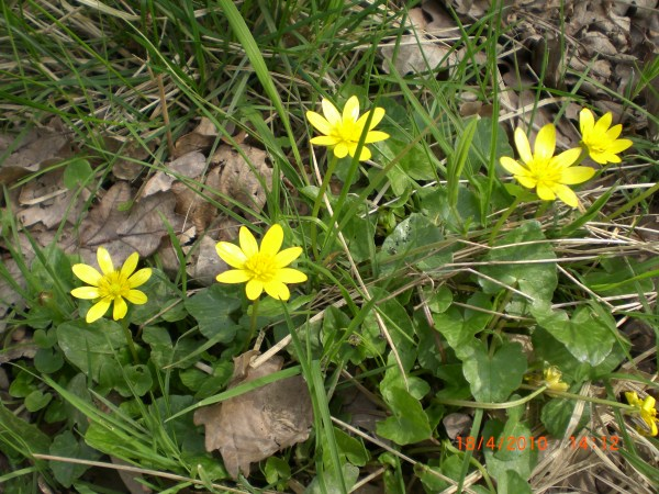 lesser celandine ointment | herbal | traditional | natural | hedgerow