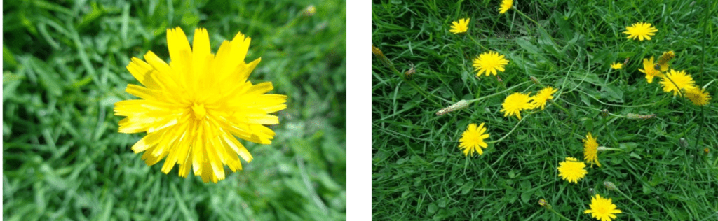 all about dandelions | herbal remedies | herbalist | Kent | south east | London