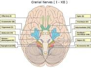 Cranial Nerve Mnemonic