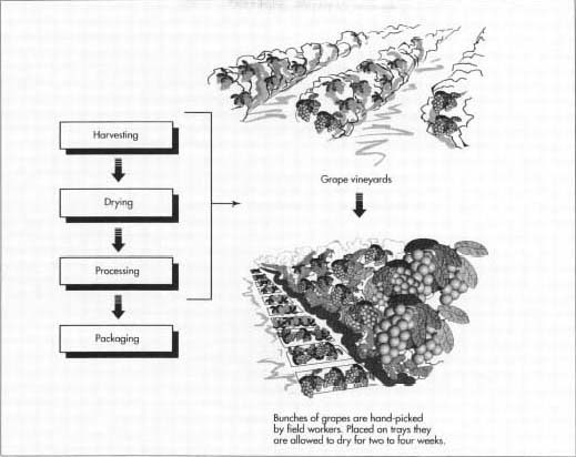 Grapes are harvested in August through September. While drying on trays, the grapes' moisture content is reduced from 75% to under 15% and the color of the fruit changes to a brownish purple. After the fruit is dried, the paper trays are rolled up around the raisins to form a package. The rolls are gathered and stored in boxes or bins before being transported by truck to a processing plant, where they are cleaned, inspected, and packaged.