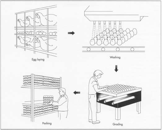 Commercial egg processing is a quick business that relies on speed to market in order to provide fresh, quality product. Hens are kept in cages that are devised so that when an egg is laid it rolls into a collection bin. The eggs are then packed on skids which are formed of layers of flats. Skids are individually placed on a conveyor belt. Each egg in the skid is grasped by a small suction cup and placed onto another conveyor belt. The eggs move into the grader where they are cleaned with a USDA approved cleanser. They are rotated as brushes and water jets move carefully across the eggs. A fan then dries the eggs. Once graded, the eggs are placed in cartons, packaged, and shipped to stores.