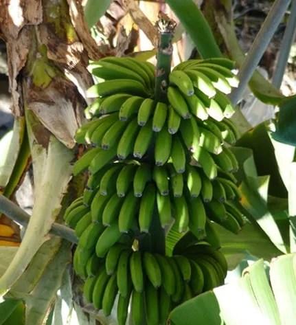 bananamadeira1