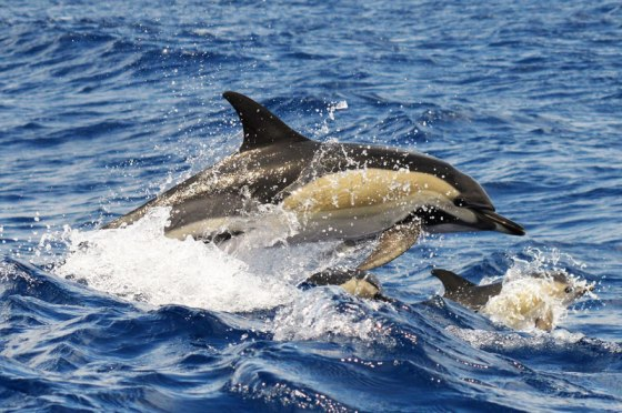 dolphin-common-dolphin