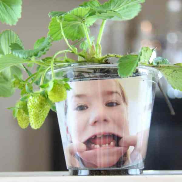 Funny Face Seedlings