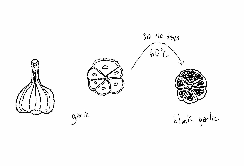Diagram Of Garlic