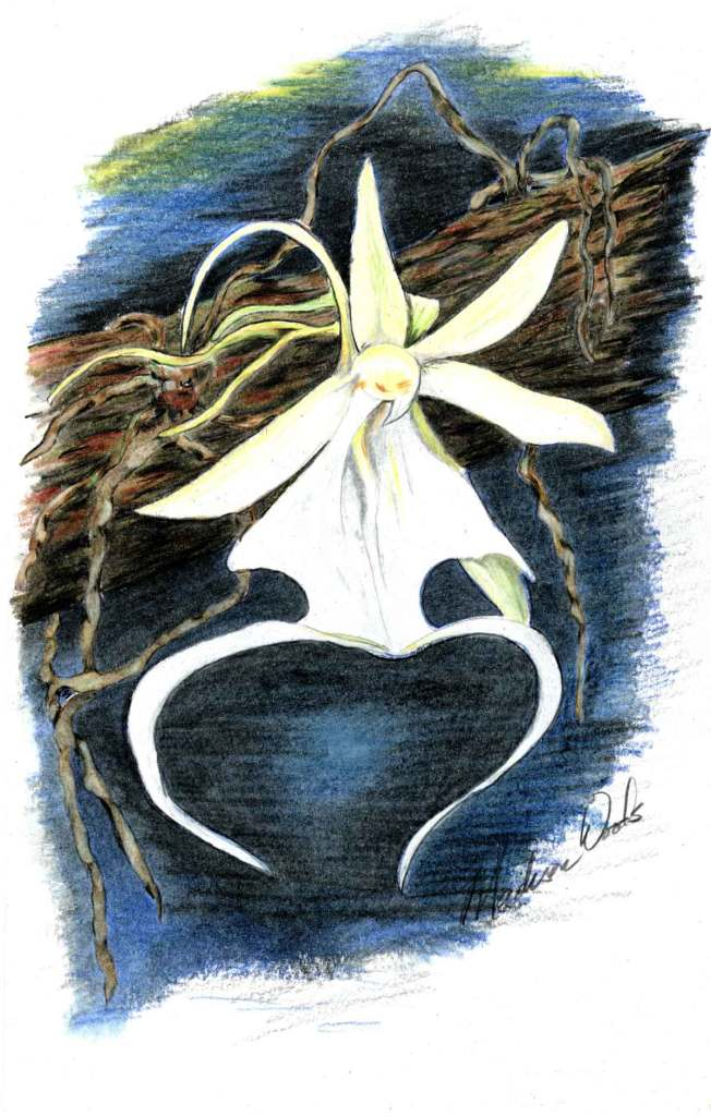 Ghost orchid in pencils by Madison Woods.