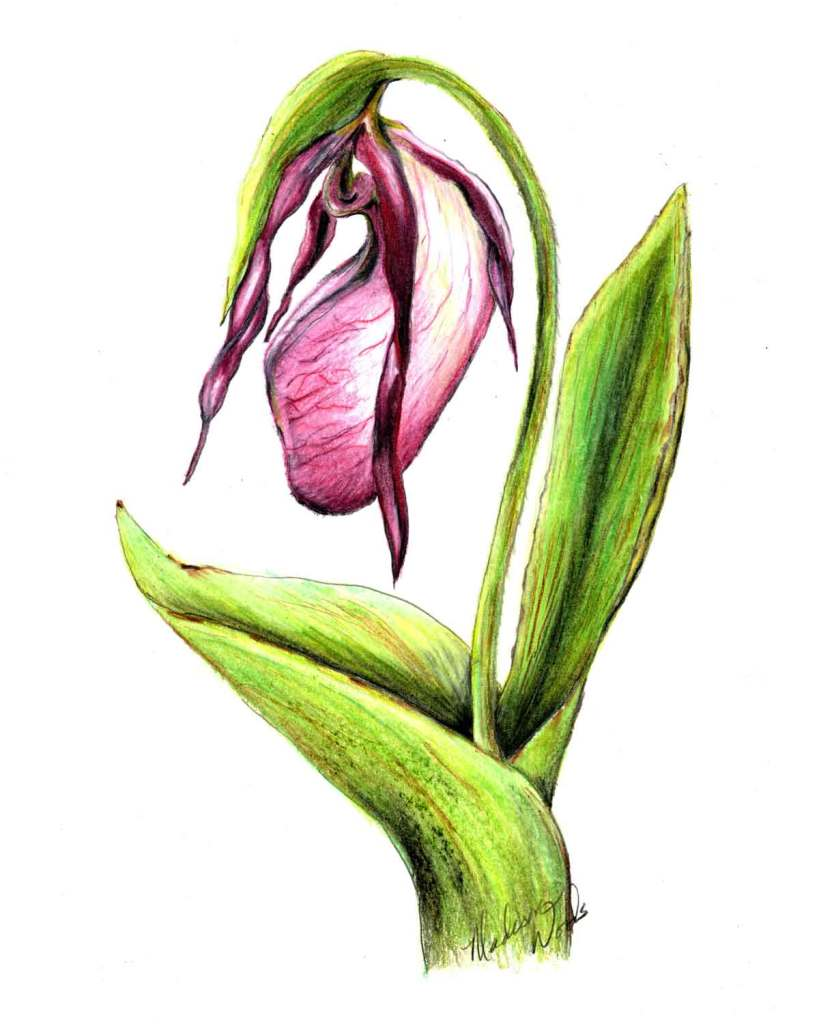 A pink lady's slipper drawing by Madison Woods.