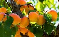 Storia della mela armena. L'albicocca in Russia