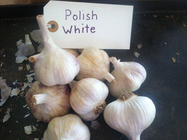 Polish White Garlic