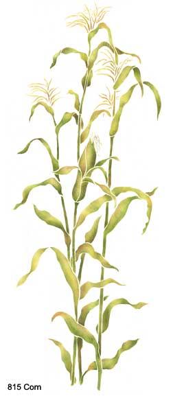 corn stalk corn stalks