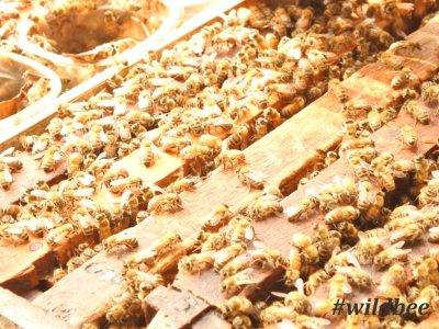 madu wild bee