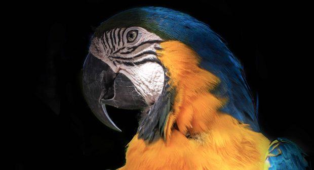 När papegojorna är igång