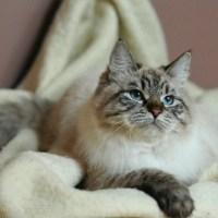 Sibiřská kočka: parťák do nepohody