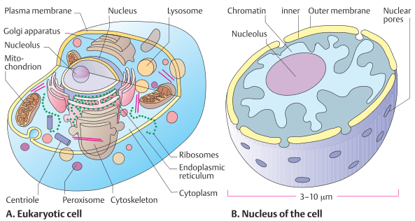 Eukartotic cell and neucleus