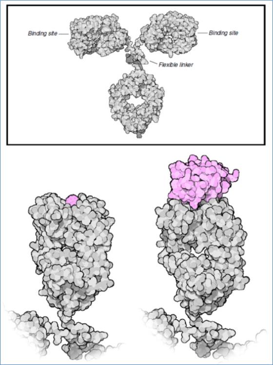 Figure. La technologie d'ADN recombinant est basée sur deux enzymes: E de restriction (EcoRI à gauche) et les ligases.