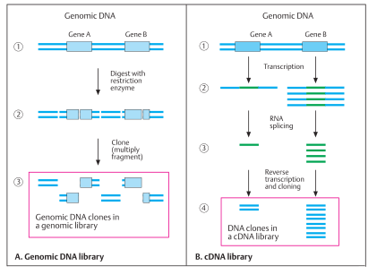 Genomic DNA and cDNA library