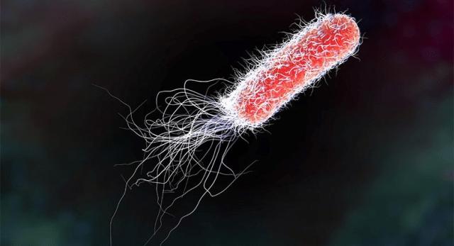 eubactéries