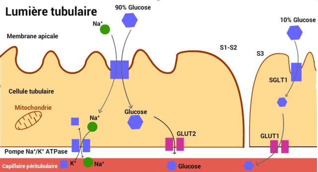 Réabsorption rénale du glucose