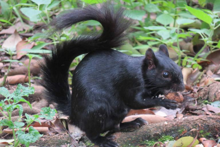 Beware the over-confident black squirrels in the park