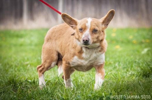 portret olejny psa ze zdjęcia