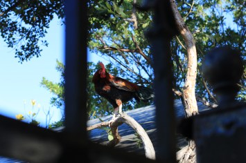 This rooster was standing in a tree, directly above the passed-out guy, trying to wake him up.