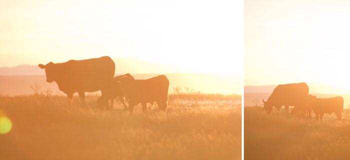 sunsetcowblog