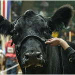 National Western Stock Show, Angus heifer, Angus female junior show