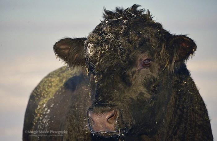 Black Angu bull