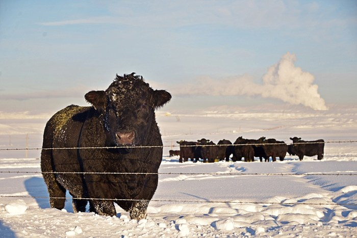 Angus cattle in winter
