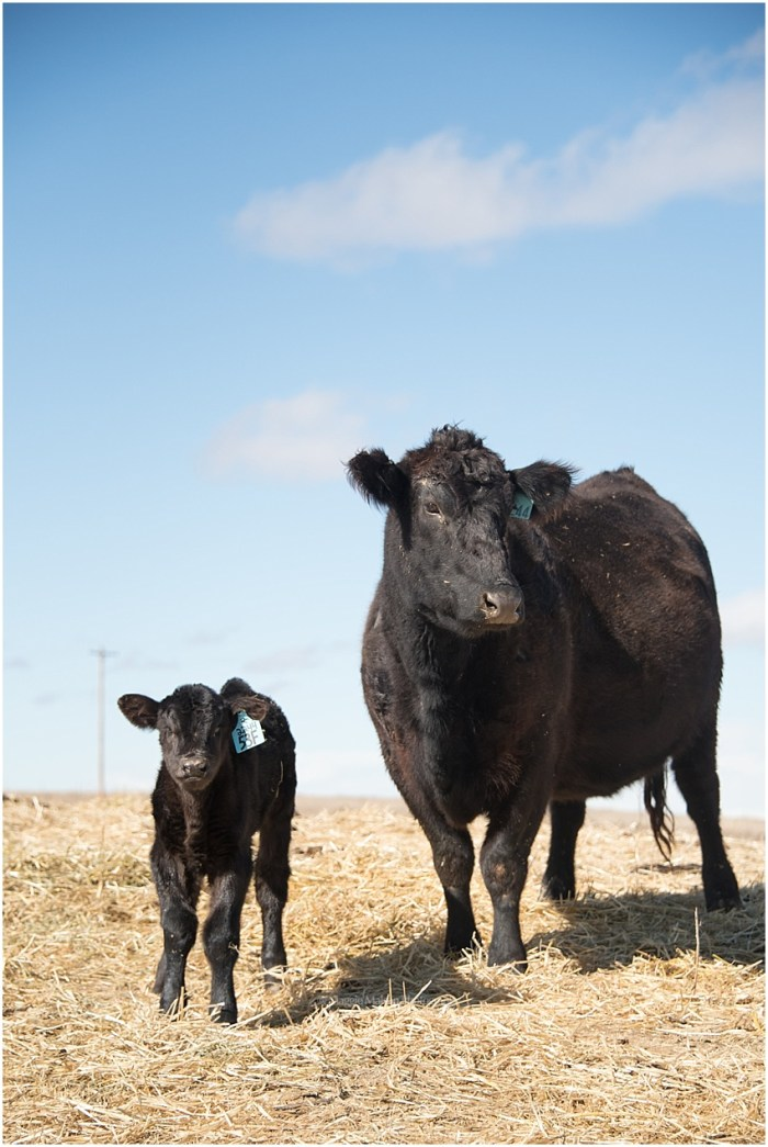 2018,Angus,Hereford,calving,cattle,