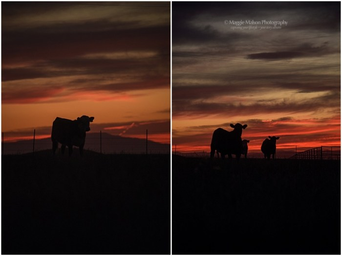 sunset, cattle, livestock at sunset, silhouette of cattle, cows