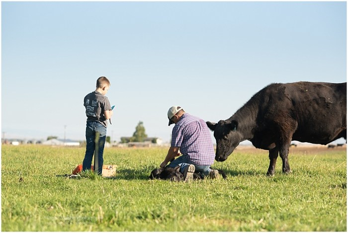Angus,father and son,grass pasture,newborn calf,tagging calves,vaccinations,