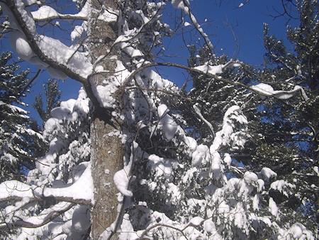 SnowInTree