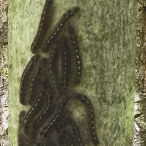 Army worms at the Camp