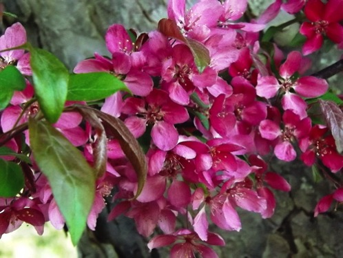 Crabapple blossoms spring 2018