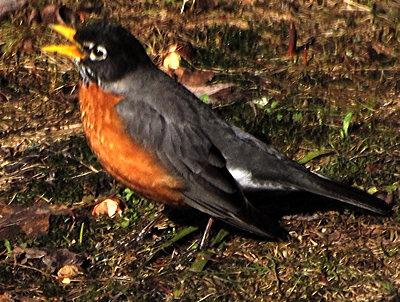 Robin 2013 april