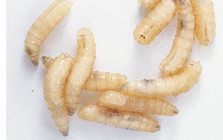 Close up photo of maggots