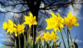 mu_1_daffodils_south_wootton_201211-570x326