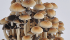 Golden Teacher Magic Mushroom: Everything you need to know