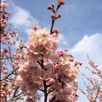 【花便り】さくら開花☆(春めきさくら)☆