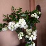 【花便り】☆ぼけのお花☆