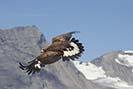 Adlerflug2