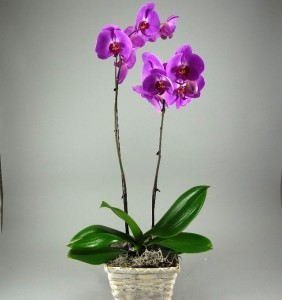 Tropical-Orchid-282x300